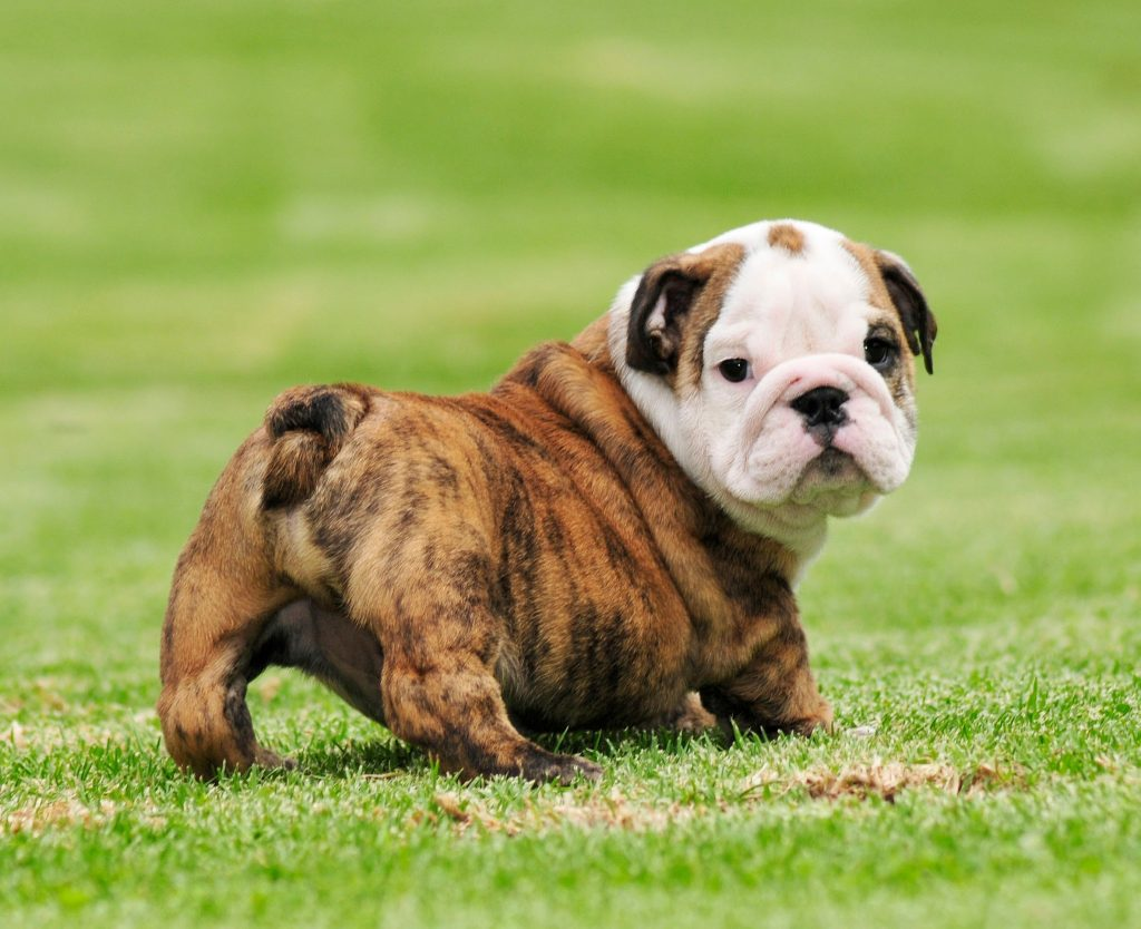 Bulldogs Are Beautiful Day Holiday Fun Facts 2